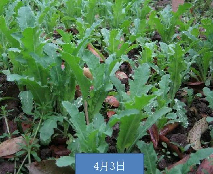 11月中旬~翌年3月,此时为罂粟的幼苗期图片